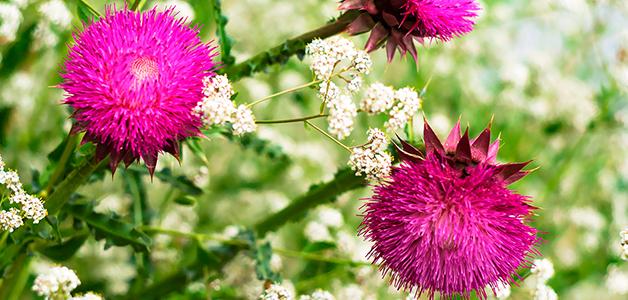 Расторопша – полезные свойства обычного сорняка
